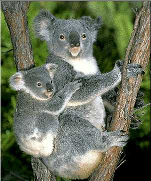 Koala Love Animals